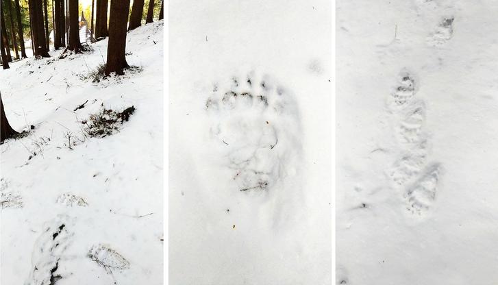 Niedźwiedzie w Tatrach już nie śpią. Ślady na Wiktorówkach